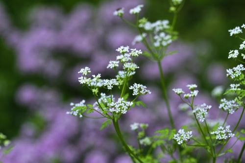 fleur de cerfeuil